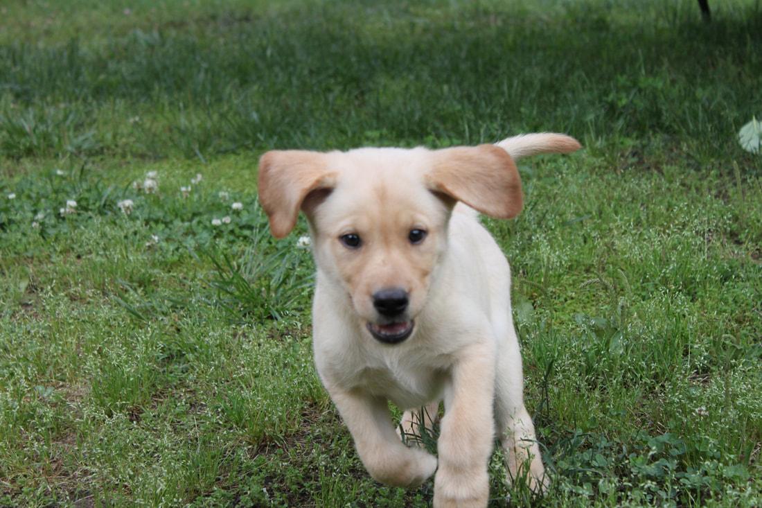 Name:  yellow pup 9.jpg Views: 98 Size:  264.6 KB