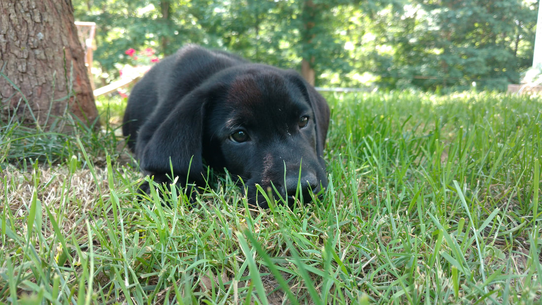 Name:  black pup 9.jpg
